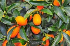 Kumquat Royalty Free Stock Photo