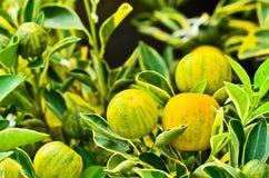 Kumquat Obrazy Royalty Free