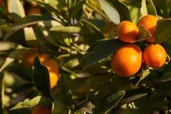 Kumquat Imagen de archivo libre de regalías