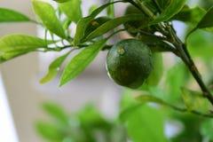 kumquat Stockbild