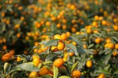 kumquat Стоковые Изображения