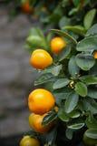 kumquat Стоковые Фото