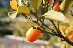 Kumquat. Tree with ripe s and leaves Stock Images