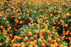 Kumquat stock photo