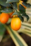 Kumquat anaranjado en el árbol imagenes de archivo