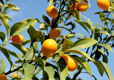 Kumquat on the branches of a tree. Kumquat on tree branches on a background of blue sky Stock Photography