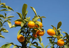 Kumquat on the branches of a tree. Kumquat crop on tree branches on a background of blue sky Stock Image