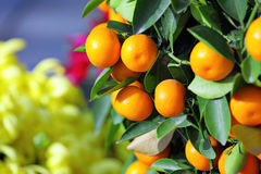 Kumquat for chinese new year Stock Photo