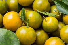 Kumquat (clementina) Imagens de Stock