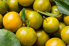 Kumquat (clementina) Immagini Stock