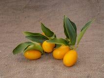 Kumquat, cumquat citrus fruits on hessian, with leaves. Fresh picked. Kumquat or cumquat citrus fruits on hessian, with leaves stock photo