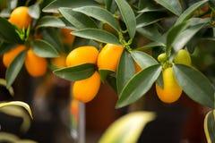 Kumquat dell'agrume fotografie stock libere da diritti