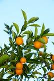 kumquat drzewo Zdjęcia Stock