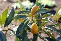 Kumquat drzewo Obraz Royalty Free