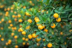 Kumquat drzewo Wraz z brzoskwini okwitnięcia drzewem, Kumquat jest jeden 2 musi mieć drzewa w Wietnamskim Księżycowym nowego roku Zdjęcie Stock