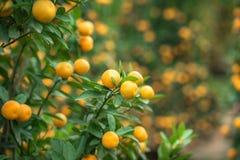Kumquat drzewo Wraz z brzoskwini okwitnięcia drzewem, Kumquat jest jeden 2 musi mieć drzewa w Wietnamskim Księżycowym nowego roku Obrazy Royalty Free