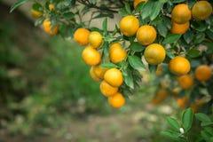 Kumquat drzewo Wraz z brzoskwini okwitnięcia drzewem, Kumquat jest jeden 2 musi mieć drzewa w Wietnamskim Księżycowym nowego roku Fotografia Stock
