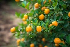 Kumquat drzewo Wraz z brzoskwini okwitnięcia drzewem, Kumquat jest jeden 2 musi mieć drzewa w Wietnamskim Księżycowym nowego roku Zdjęcia Royalty Free