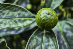 Kumquat e foglie verdi verdi fotografie stock