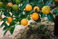 Kumquat, el símbolo del Año Nuevo lunar vietnamita En casi cada hogar, las compras cruciales para Tet incluyen el melocotón y el  Foto de archivo