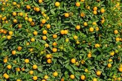 Kumquat, el símbolo del Año Nuevo lunar vietnamita En casi cada hogar, las compras cruciales para Tet incluyen el melocotón y el  Fotos de archivo