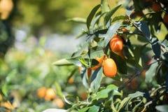 Kumquat fruit close up on green tree branch Royalty Free Stock Image