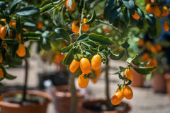 Kumquat fruit close up on green tree branch. And leaves, selective focus with vase in plant nursery in background Stock Images