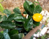 Kumquat fruit ripe on a tree. Kumquat fruit ripe on a young tree Stock Photo