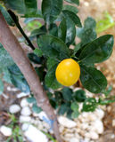 Kumquat fruit ripe on a tree. Kumquat fruit ripe on a young tree Stock Photos