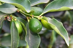 Kumquat fruit tree. In botanical garden of Crete Stock Image
