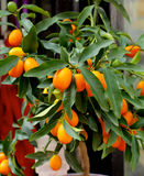 Kumquat Fruit Tree Stock Photos
