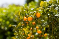 Kumquat fruits on the tree against blurred background.  Royalty Free Stock Image