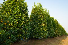 Kumquat garden, the symbol of Vietnamese lunar new year. In nearly every household, crucial purchases for Tet include the peach an. D kumquat plant royalty free stock image