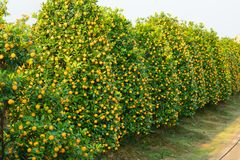 Kumquat garden, the symbol of Vietnamese lunar new year. In nearly every household, crucial purchases for Tet include the peach an. D kumquat plant royalty free stock images