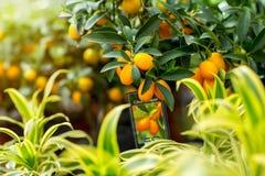 Kumquat in hothouse. Stock Image