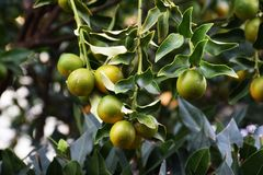 Kumquat. Is a delicious fruit that can be eaten raw but also dried fruit Royalty Free Stock Photos