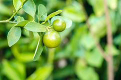 Kumquat. S are a group of small fruit-bearing trees Stock Photo