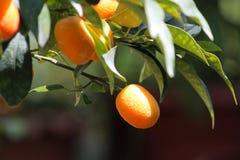 Kumquat Royalty Free Stock Photos