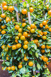 Kumquat lemon Stock Photos