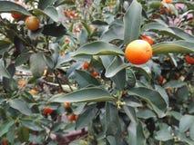 kumquat O mandarino chinês fotografia de stock