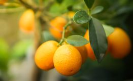 Kumquat Citrus Orange fruits on tree. Kumquat orange on the tree, must have plant in asian new year holidays, brings luck anf fortune Stock Image
