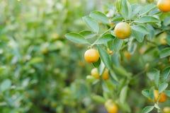 Kumquat - os frutos são usados frequentemente para a exposição durante o ano novo lunar fotografia de stock royalty free