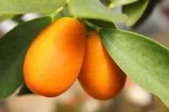 Kumquat sull'albero Immagini Stock