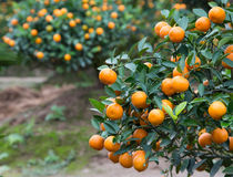 Kumquat, the symbol of Chinese lunar new year Royalty Free Stock Image