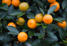 Kumquat, the symbol of Chinese lunar new year Stock Photos