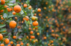 Kumquat, the symbol of Chinese lunar new year Stock Photo