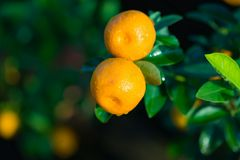 Kumquat, the symbol of Vietnamese lunar new year. In nearly every household, crucial purchases for Tet include the peach and kumqu. At plant stock photo