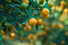 Kumquat, the symbol of Vietnamese lunar new year. In nearly every household, crucial purchases for Tet include the peach and kumqu. At plant royalty free stock photography