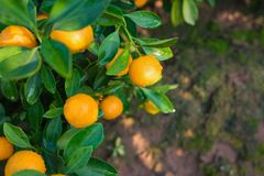 Kumquat, the symbol of Vietnamese lunar new year. In nearly every household, crucial purchases for Tet include the peach and kumqu. At plant royalty free stock photo