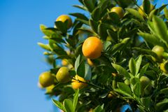 Kumquat, the symbol of Vietnamese lunar new year. In nearly every household, crucial purchases for Tet include the peach and kumqu. At plant stock image